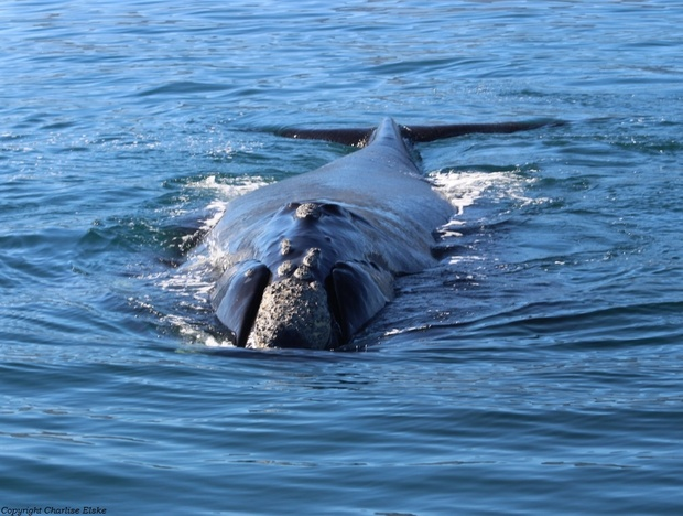 Southern Right Whales, Hermanus whale watching, Whale watching, land based whale watching